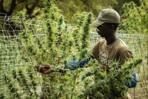 Cannabis - Hemp - CBD - Cultivator Accountant.jpg