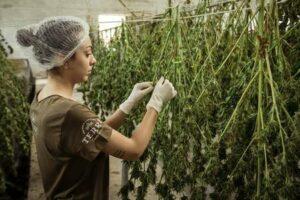 Cannabis - Hemp - CBD - Product development processing accounting.jpg