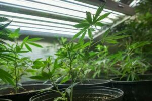 Cannabis - Hemp - CBD - Seed to sale - vertical integrator accounting.jpg