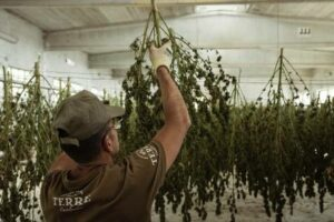Cannabis - Hemp - CBD - Warehouse Accounting.jpg